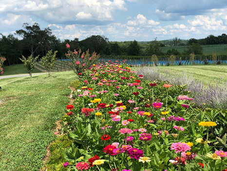 Row of Zinnias
