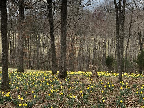 Forest and Daffodils