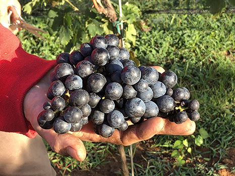 handheld cluster of red grapes
