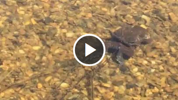 Frogs laying eggs video thumbnail