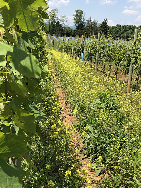 vineyard rows and flowers