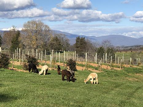 Alpacas at the Vineyard