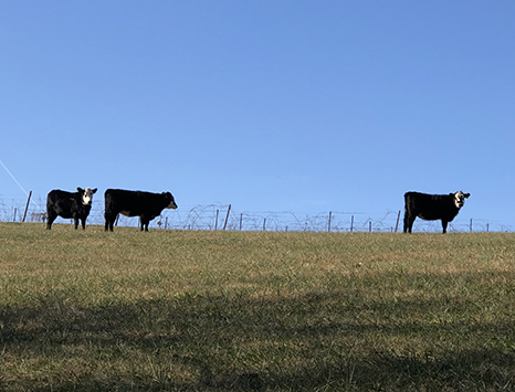 cows on the horizon