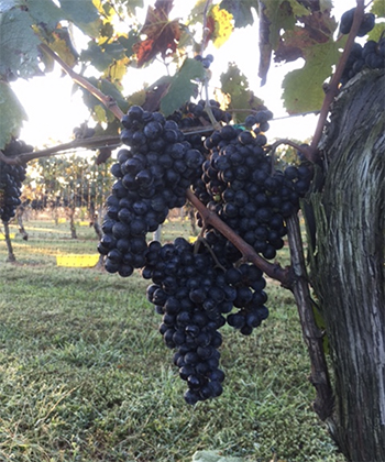 fall grape clusters
